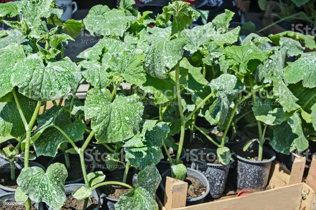 Cucumber seedlings stock photo