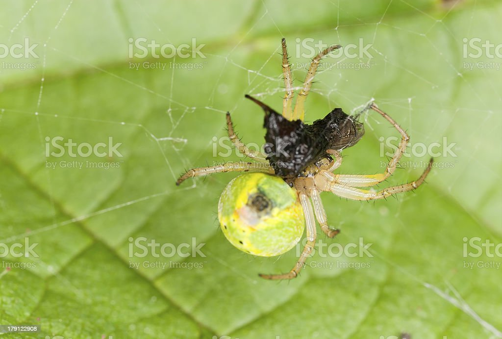 Cucumber spider with caught fly, extreme close up royalty-free stock photo