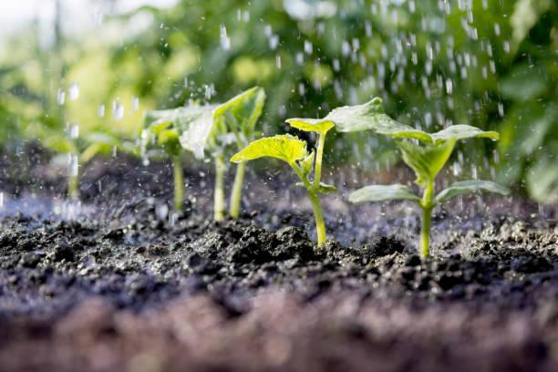 gurke sprossen im feld und landwirt ist es gießen - sonnendusche stock-fotos und bilder