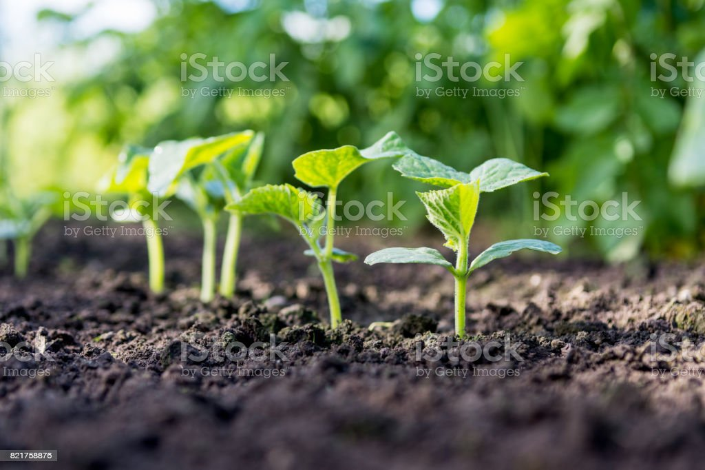 Cucumber Sprouts In The Field Seedlings In The Farmers ...