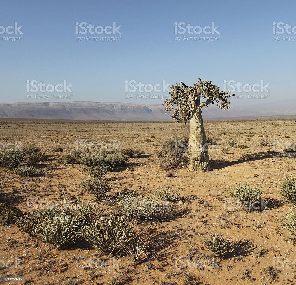 Cucumber tree royalty-free stock photo