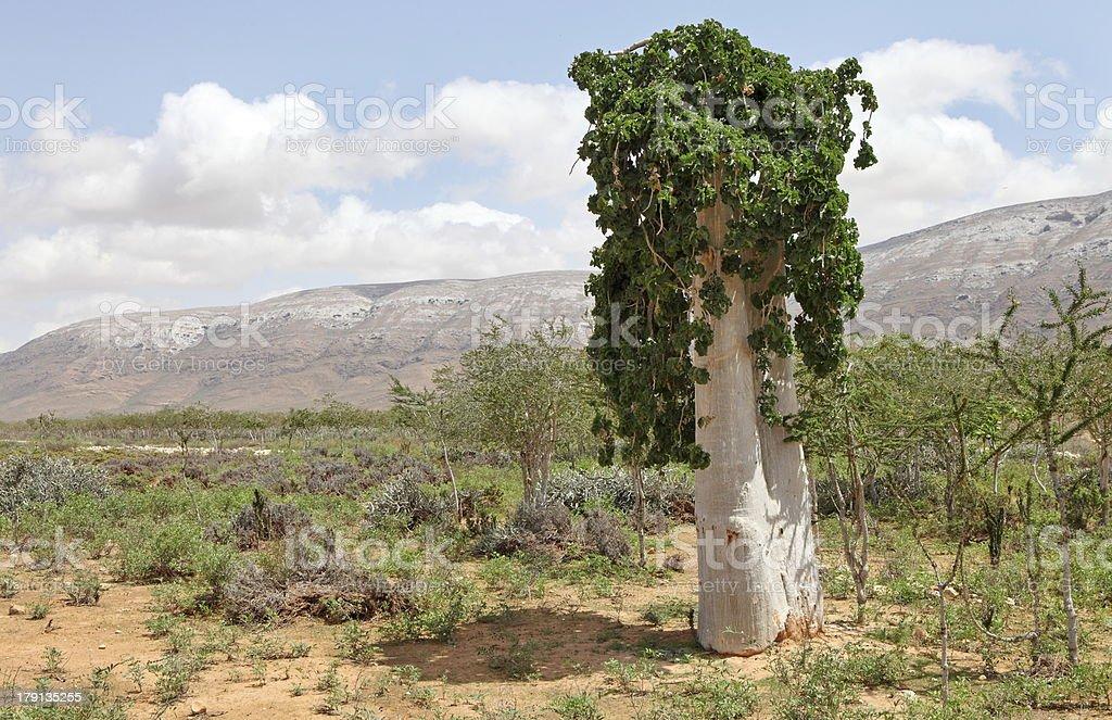 Cucumber tree stock photo