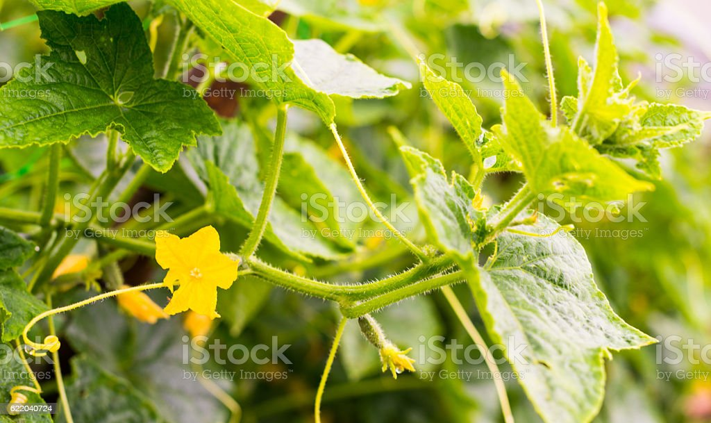 Cucumber yellow flowers vines and leaves stock photo more pictures cucumber yellow flowers vines and leaves royalty free stock photo mightylinksfo