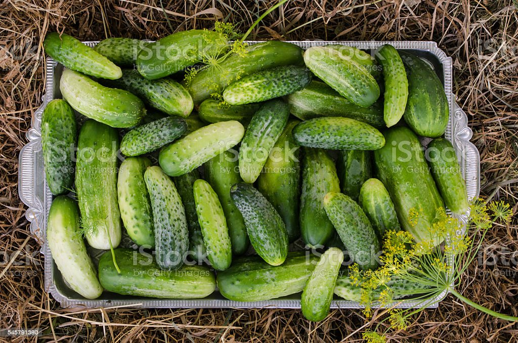 Cucumbers in a tray on a hay background. – Foto