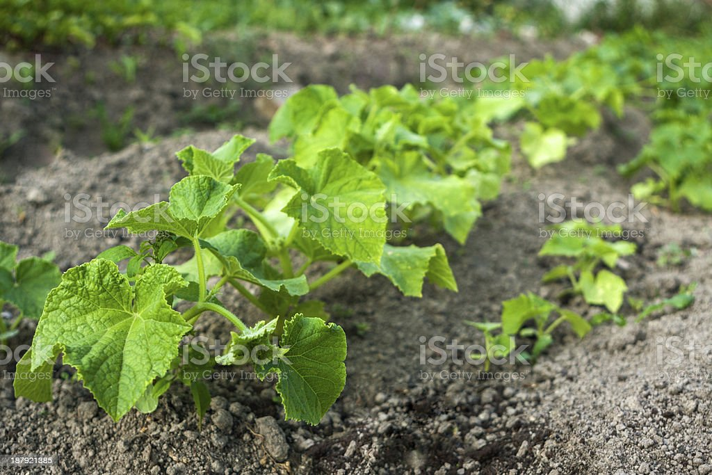 Cucumbers in the garden royalty-free stock photo