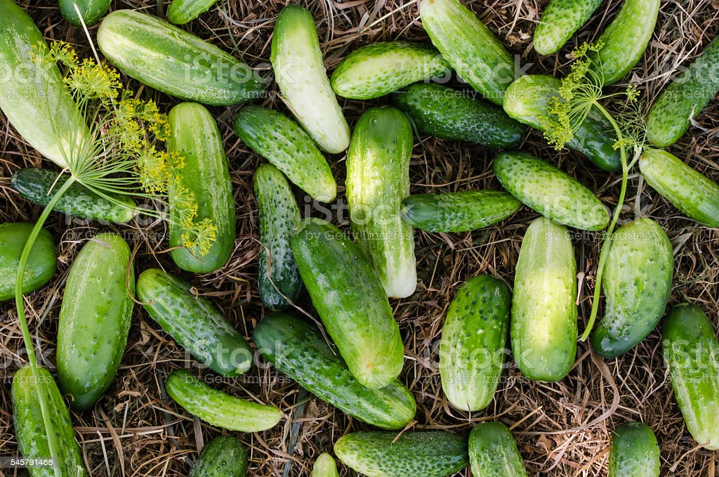 Cucumbers on a hay background. – Foto