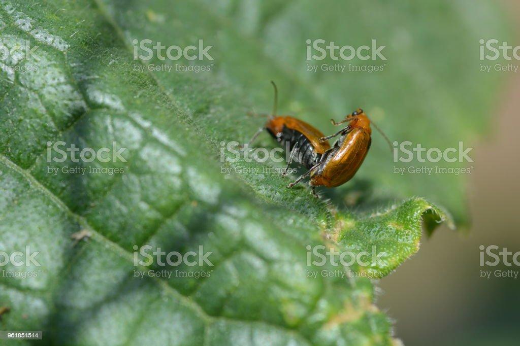 Cucurbit leaf beetle royalty-free stock photo