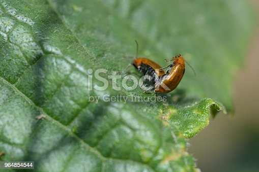 Cucurbit Leaf Beetle Stock Photo & More Pictures of Animal