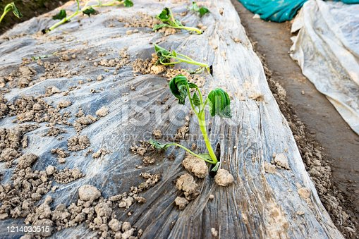 Cucurbita pepo L squash withered sapling in the agriculture field