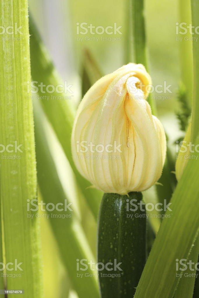 Cucurbita pepo / Squash pumpkin flower royalty-free stock photo