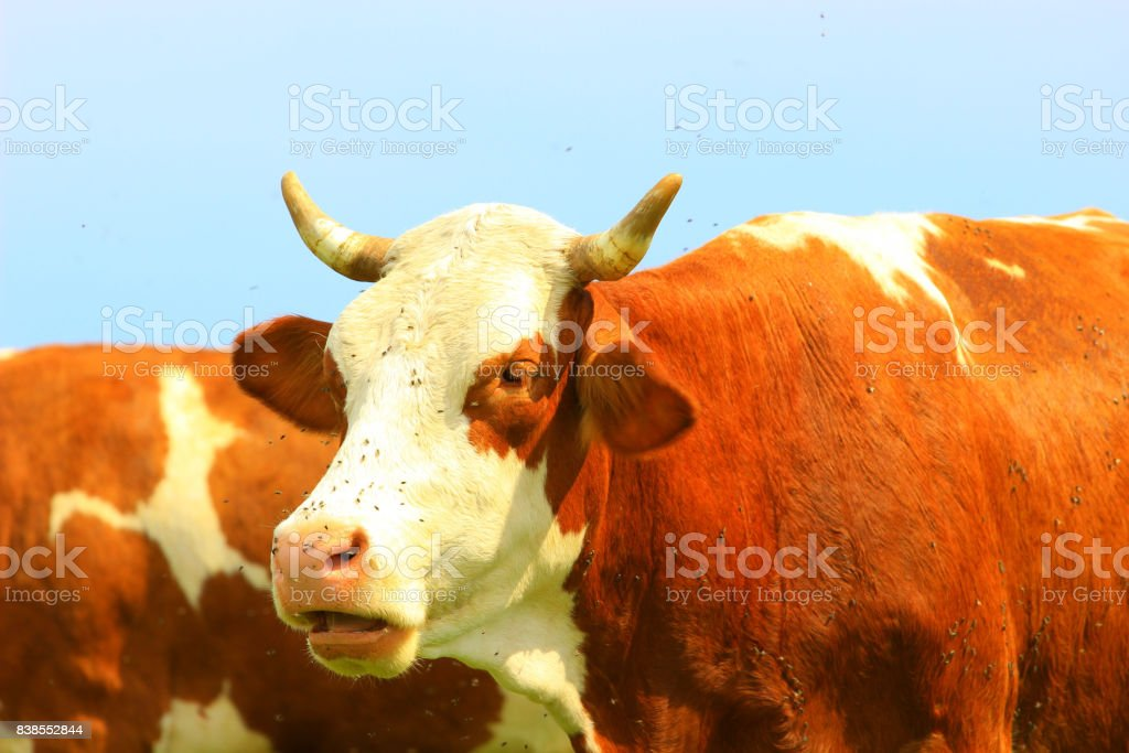Cud of cow stock photo