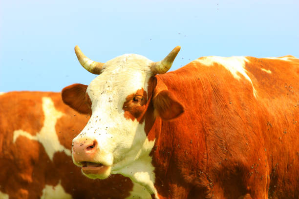 cud of cow - cud stock pictures, royalty-free photos & images