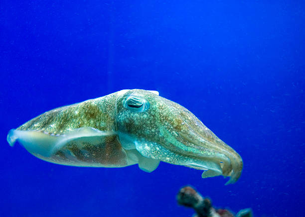 Cuddlefish  bobtail squid stock pictures, royalty-free photos & images