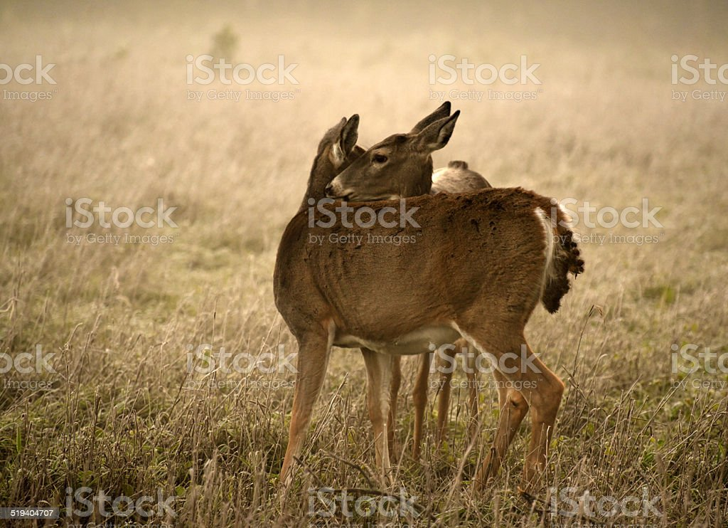 Cuddling does in a field stock photo