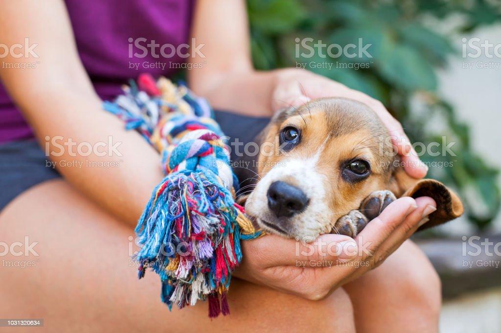 Kuscheln mit Beagle Welpen – Foto