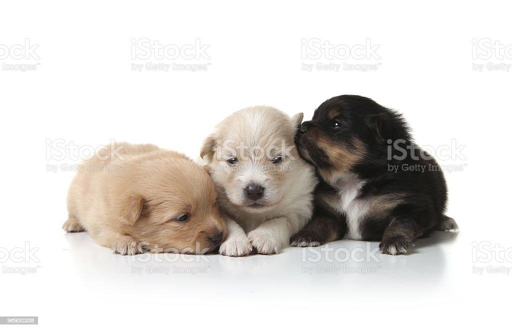 Cuddly Pomeranian Newborn Puppies royalty-free stock photo