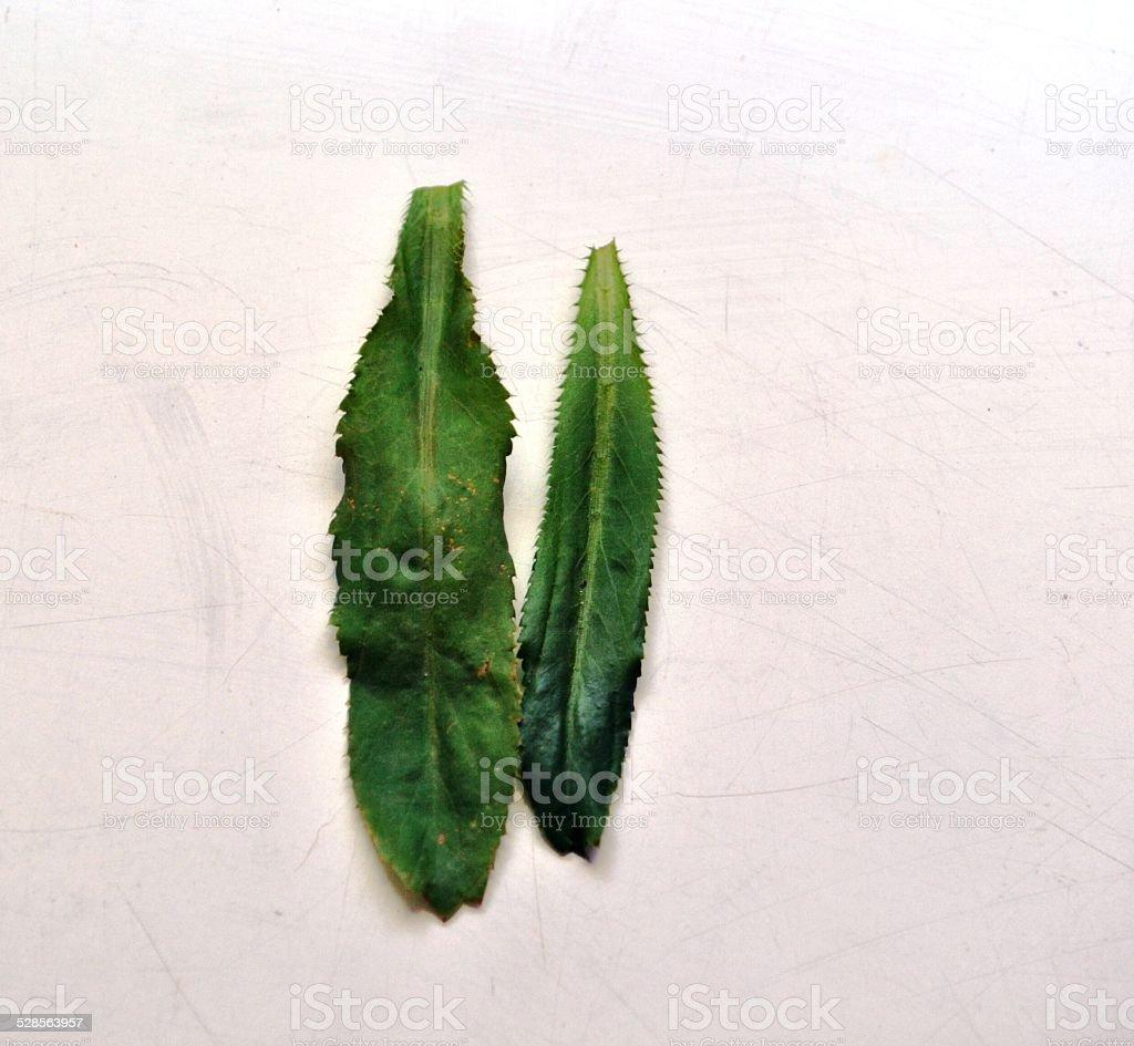 culantro leaf isolated, nature, background stock photo