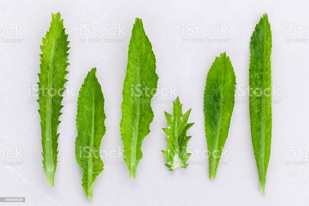 Culantro, Long coriander, Sawtooth coriander the herbs for seaso stock photo