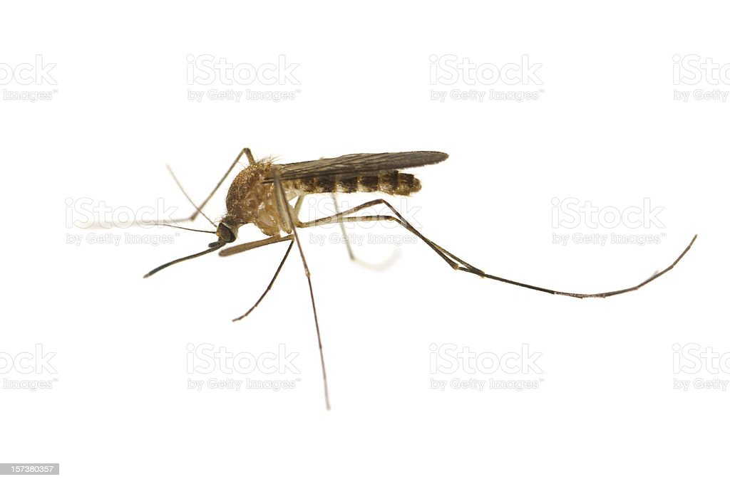 Culex Mosquito royalty-free stock photo