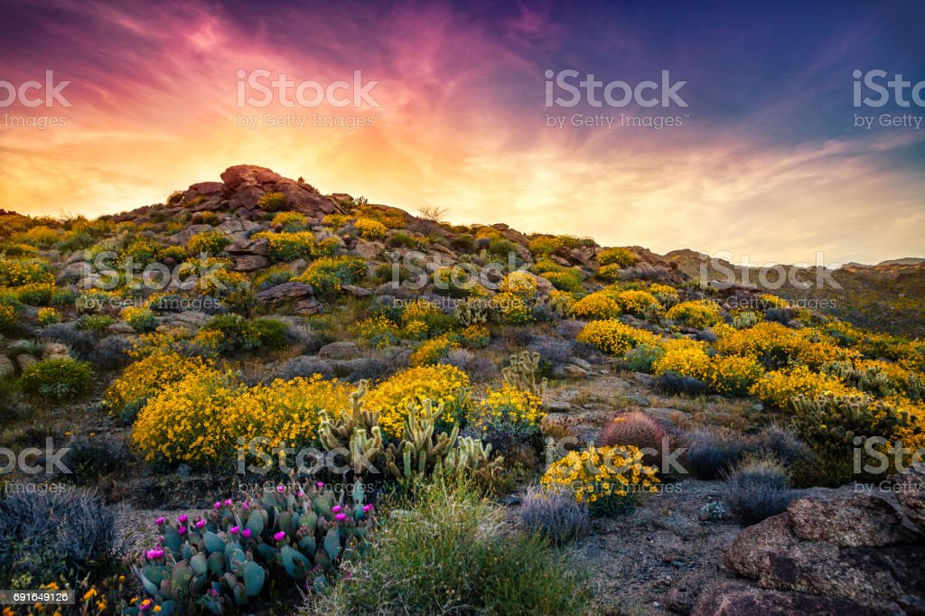 Culp Canyon Covered in Brittlebush Flowers At Sunset, Anza-Borrego Desert State Park stock photo