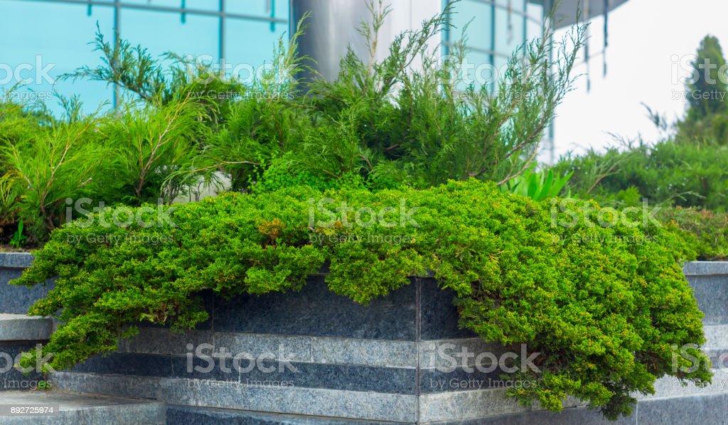 Cultivar creeping juniper Juniperus Agnieszka horizontalis in the rocky garden stock photo