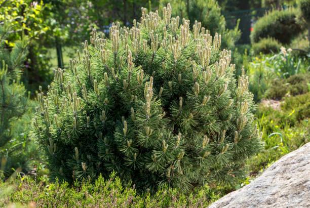 Cultivar dwarf mountain pine Pinus mugo var. pumilio in the rocky garden stock photo