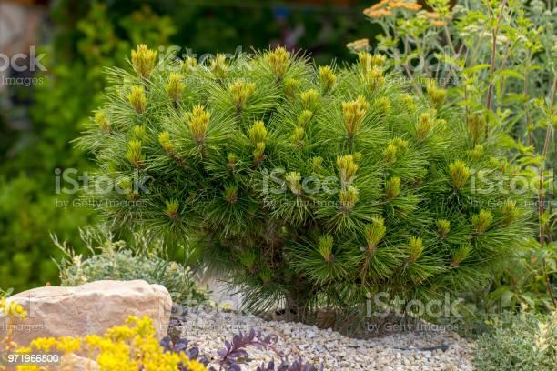 Photo of Cultivar dwarf mountain pine Pinus mugo var. pumilio in the rocky garden
