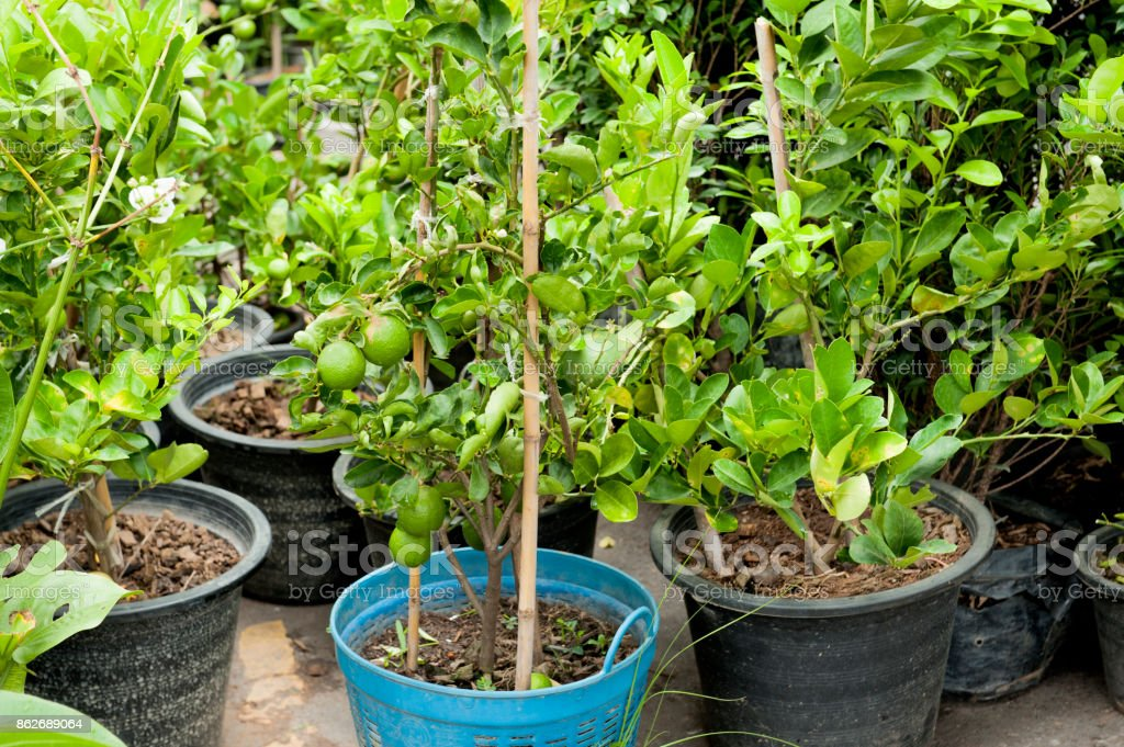 Cultivate bergamot tree in plastic pot. Tree market. agriculture market. stock photo