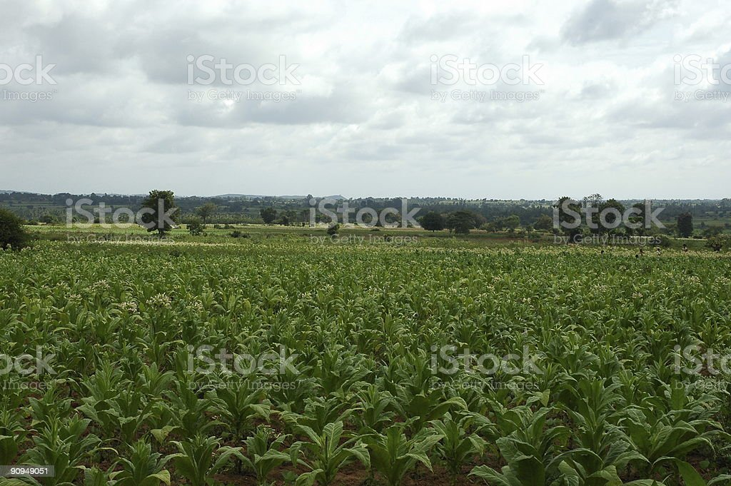 'Cultivate of Tobacco' royalty-free stock photo