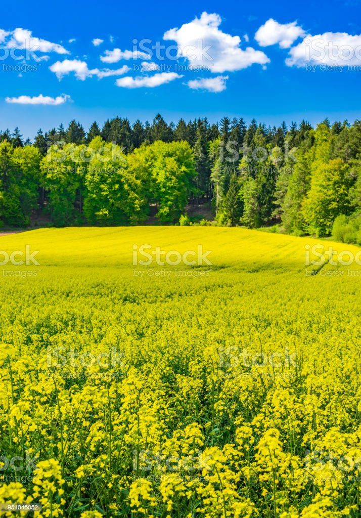 Cultivated Canola Land With Beautiful Yellow Flowers At Spring Stock