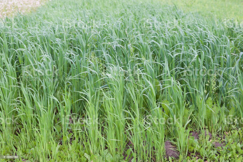 Cultivated cereals of various green shades stock photo