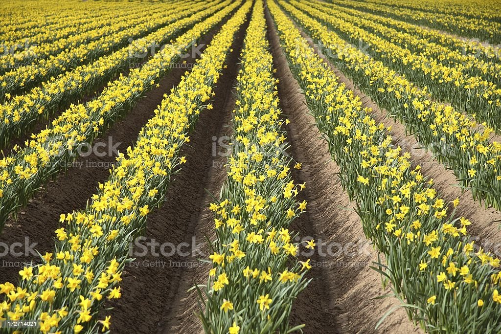 Cultivated daffodils royalty-free stock photo