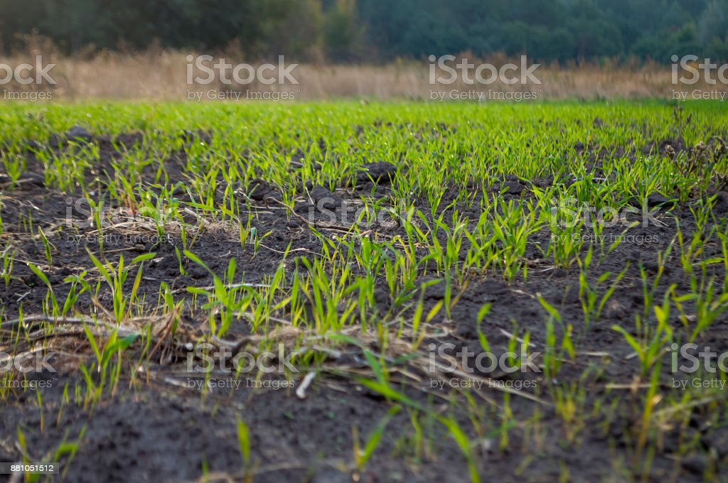 Cultivated field in the early autumn. Dry plants around. Green trees far away. Morning stock photo