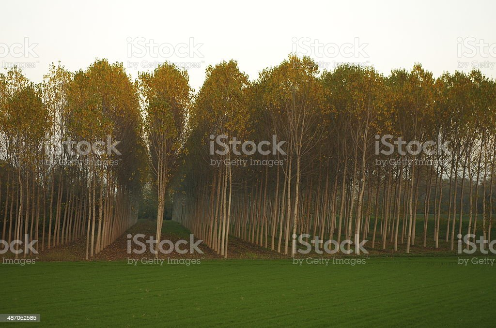 Cultivated poplar trees stock photo