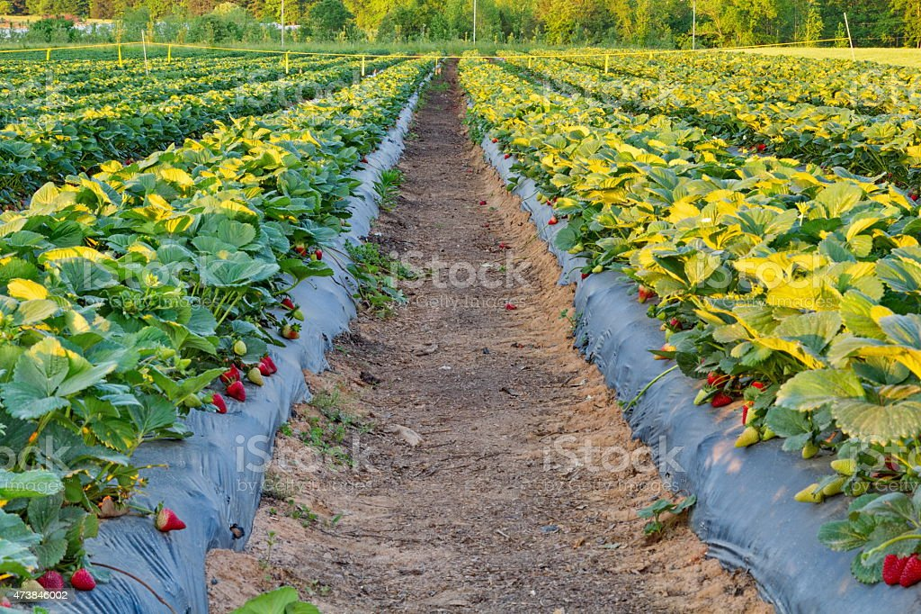 Cultivated Strawberry Field at Sunset stock photo