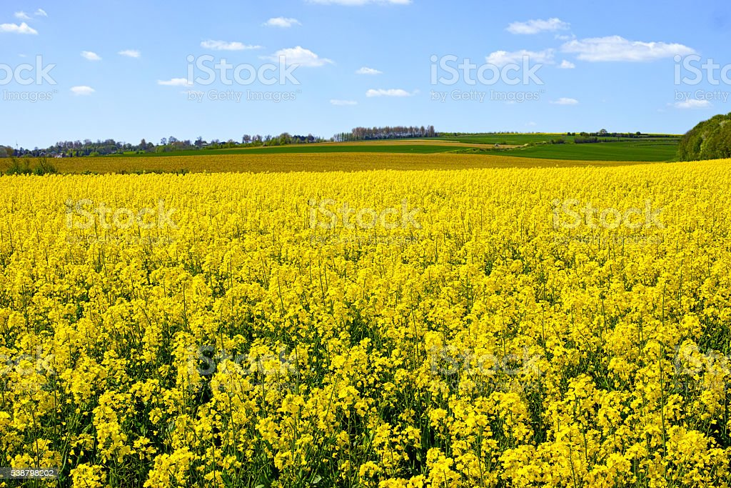 Cultivated yellow raps field in France stock photo