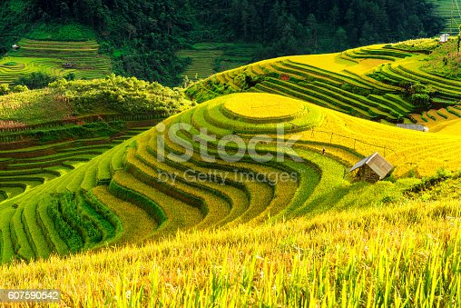 istock Cultivation in vietnam Rice fields terraced  prepare harvest 607590542
