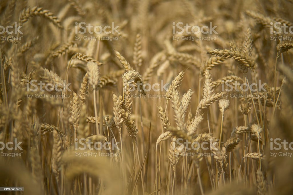 Cultivation of barley stock photo