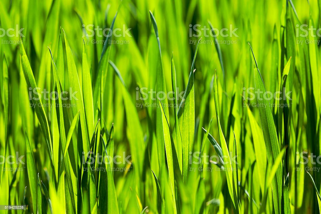 cultivation of cereals. Spring stock photo