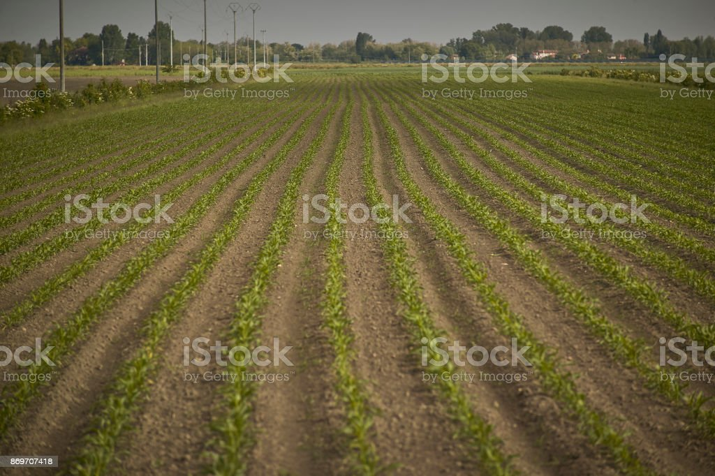 Cultivation of corn stock photo