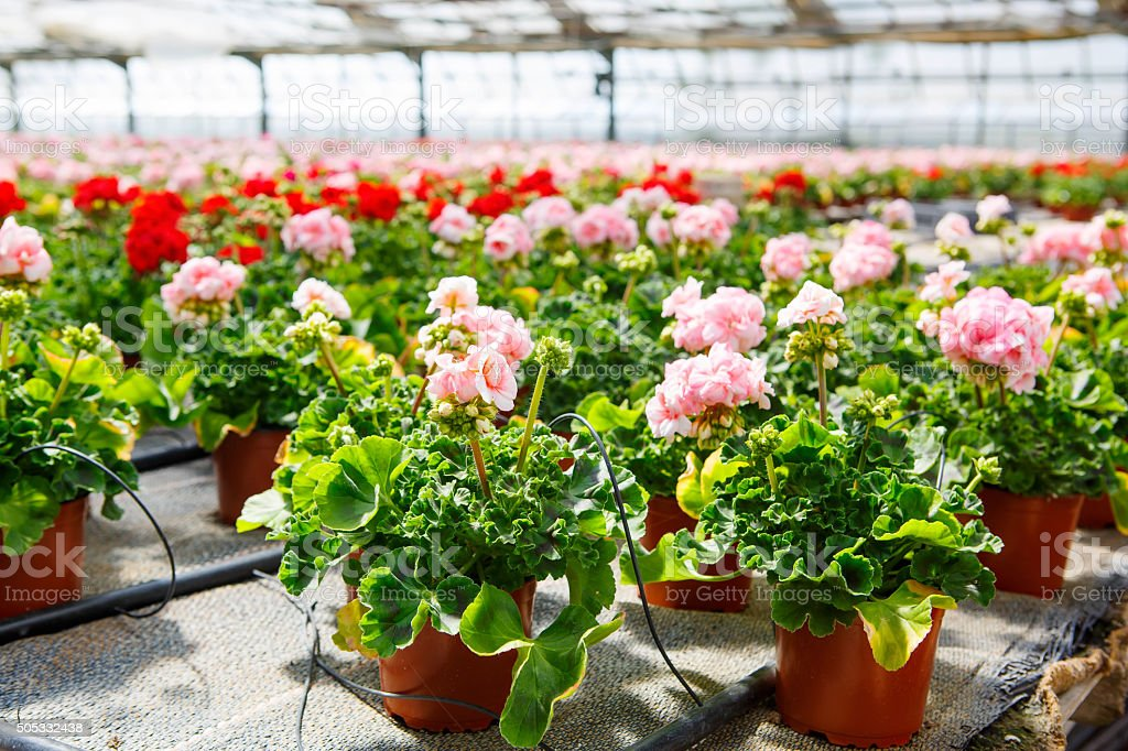 Cultivation of differen flowers in greenhouse stock photo
