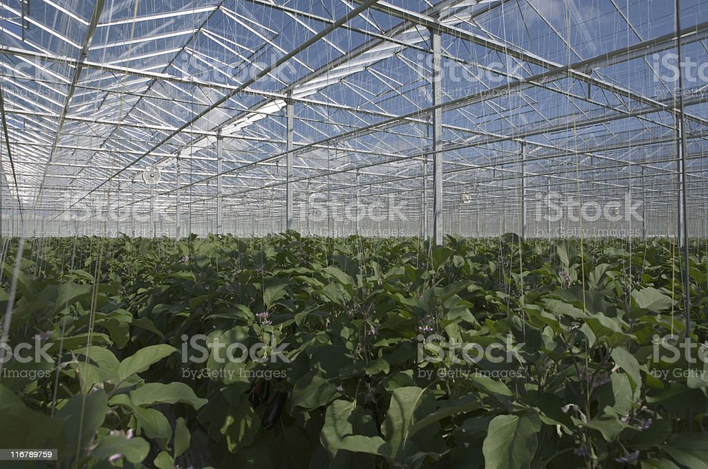 cultivation of eggplants in a greenhouse royalty-free stock photo
