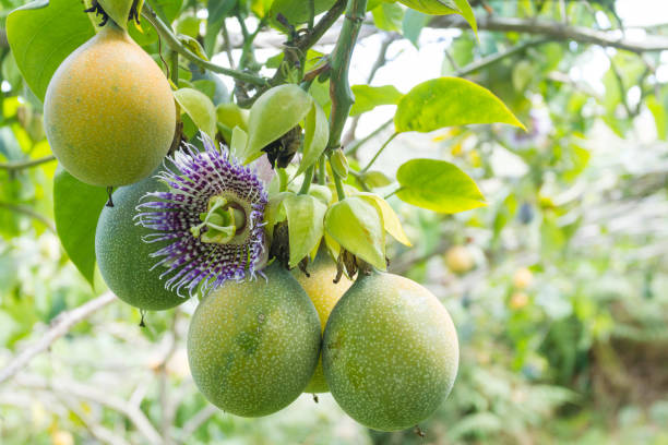 cultivation of fruits of passion, granadilla - passiflora foto e immagini stock