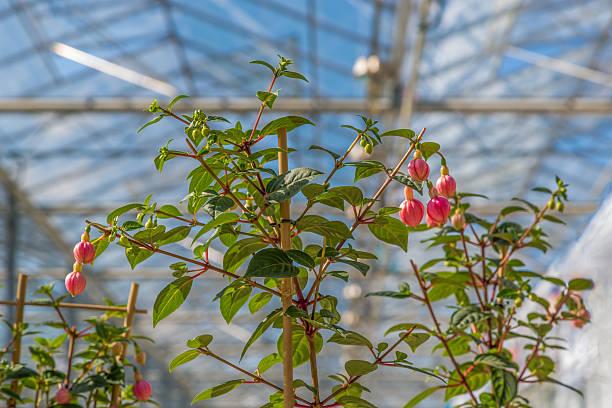 anbau von fuchsia in einem niederländischen greenhouse - lila, grün, schlafzimmer stock-fotos und bilder