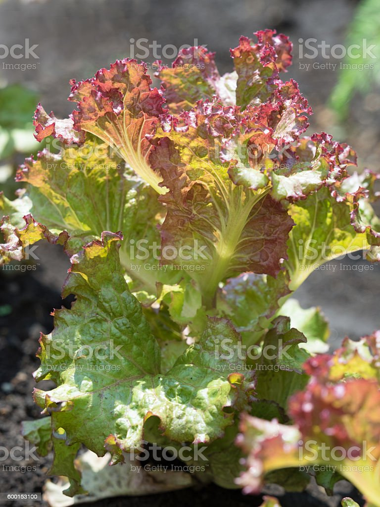 Cultivation of lettuce stock photo