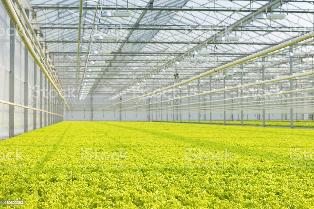 cultivation of lollo bionda lettuce in a greenhouse royalty-free stock photo