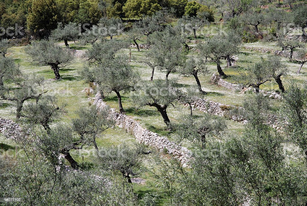 cultivation of olive trees on terraced field royalty-free stock photo