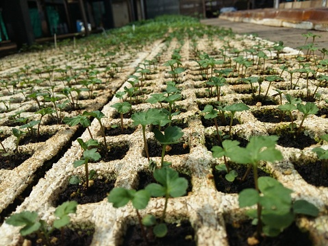 615599804 istock photo Cultivation of plants in a greenhouse for transplanting 638344212