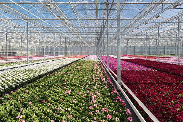 anbau von purple geraniums in einer niederländischen greenhouse - lila, grün, schlafzimmer stock-fotos und bilder