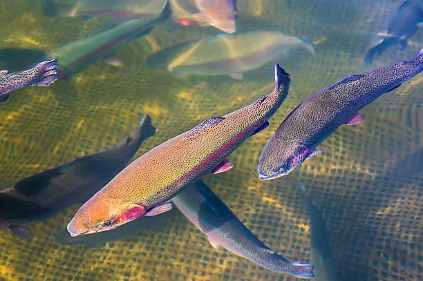 Cultivation of trout - foto de stock
